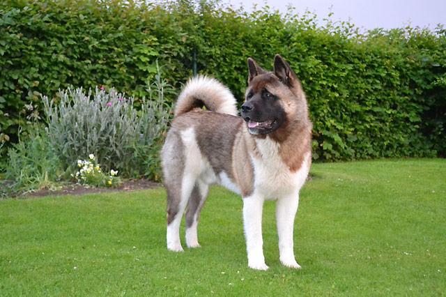 Akita Inu Der Vermutlich Treuste Hund Der Welt Blog Petcenter Ch Ag