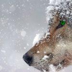 Bild eines Wolfs passend zum Thema der getreidefreien Fütterung von Hunden und Katzen als ehemalige Wildtiere