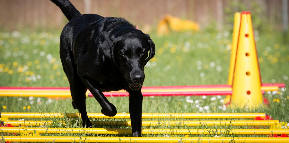 Schwarzer Labrador beim Cavaletti Training