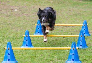 Hund springt über gelbe Cavaletti-Stange, die auf blauen Pylonen mit Löcher steht
