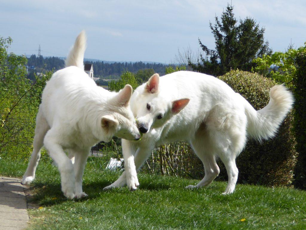 Hundezucht, Trächtigkeit der Hündin, Cayjoon und Looana am Spielen