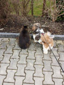Shi Tzu Inschy mag auch Katzen