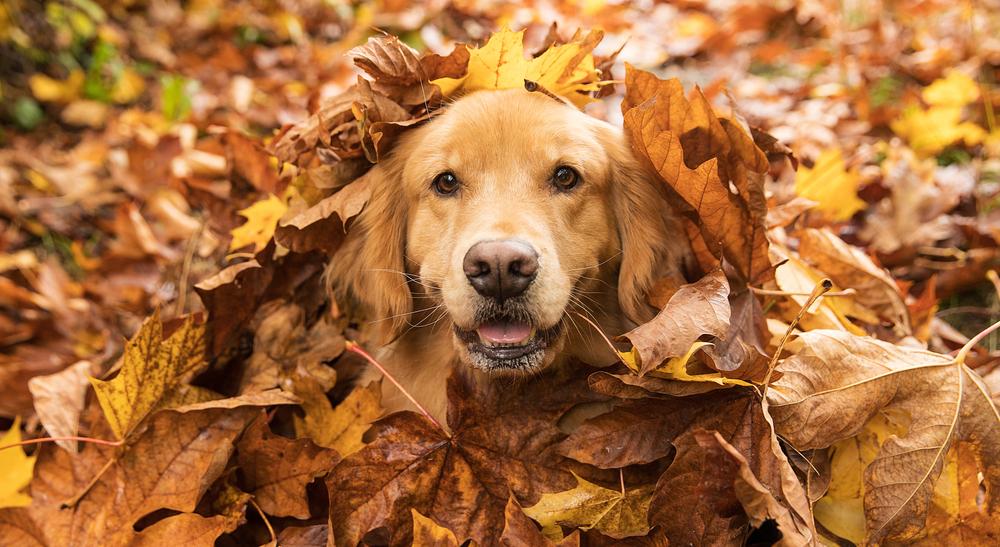 Golden Retriever versteckt in einem Laubhaufen im Herbst