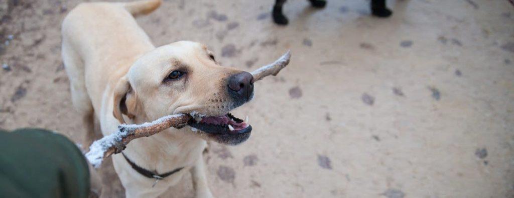 Hund spielt mit einem Stecken
