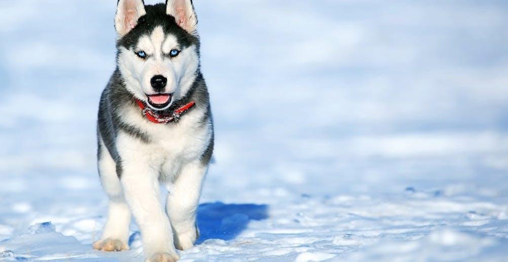 Huskey Welpe im Schnee