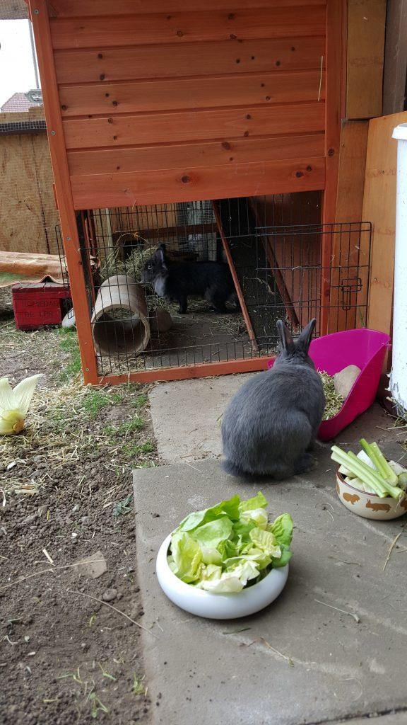 Die Kaninchen haben freien Zugang zum Stall und zum grosszügigen Gehege