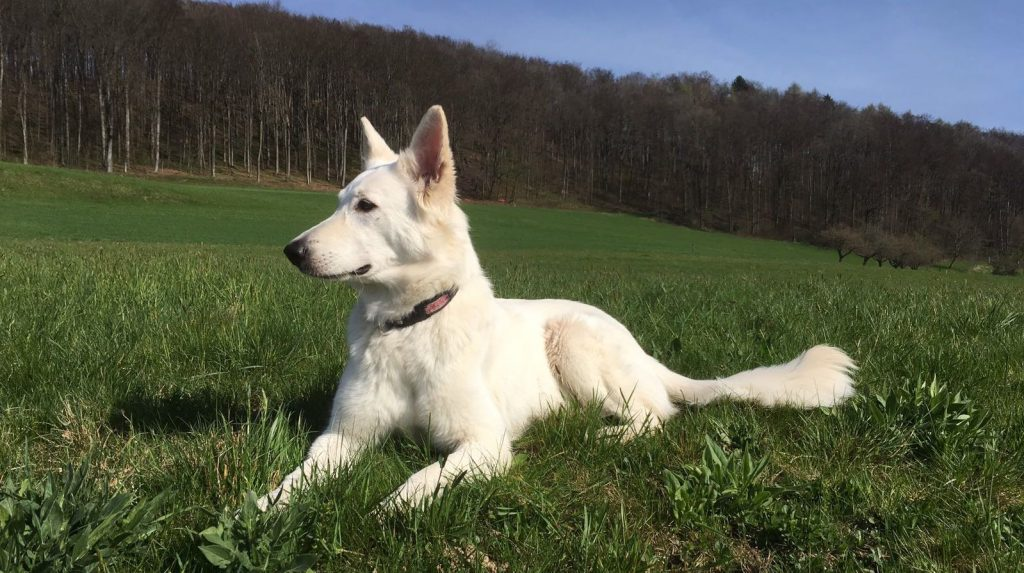 Hundezucht: Cayjoon aus der Zucht Berger Blanc du Jura auf dem petcenter.ch Blog