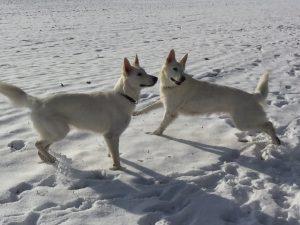 Hundezucht: Looana und Cayjoon aus der Zuchtstätte Berger Blanc du Jura