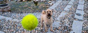 Hund spielt mit Tennisball