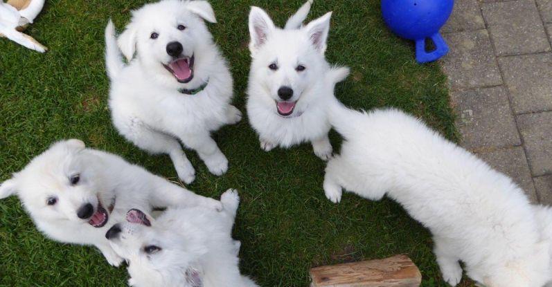 Bild von 5 Weisse Schweizer Schäferhunde Welpen