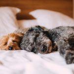 Zwei Hunde schlafen auf dem Bett, petcenter.ch Blog