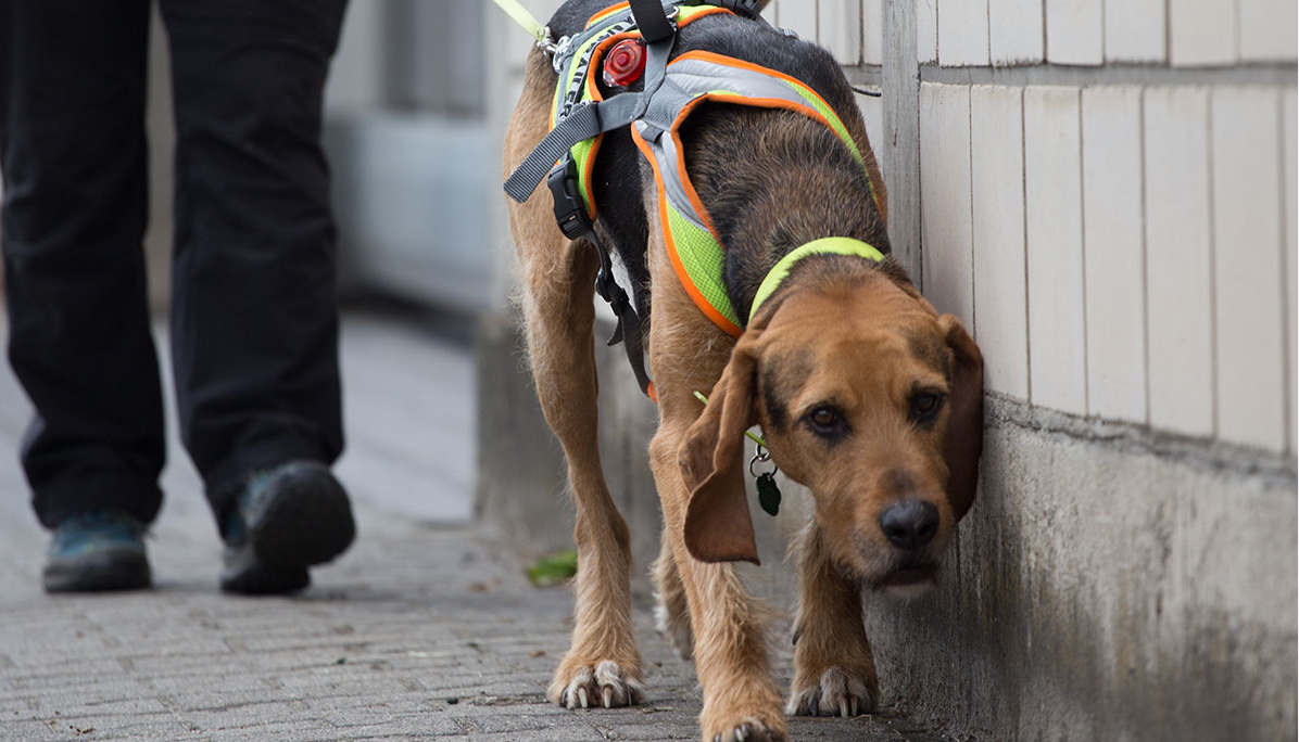 Hund beim Mantrailing draussen