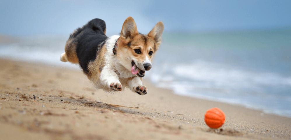 Corgi spielt am Strand mit orangem Ball