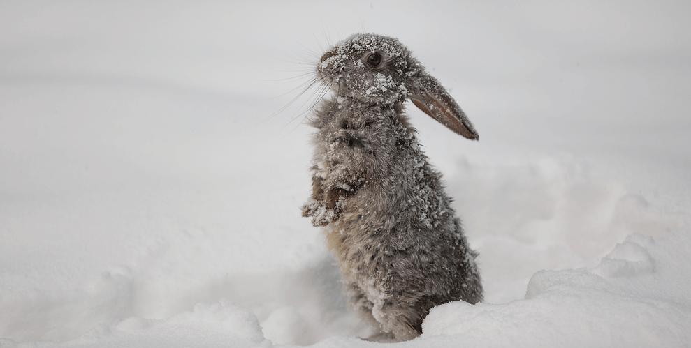 Kaninchen draussen im Schnee