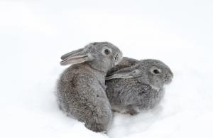 Zwei braune Kaninchen draussen im Schnee
