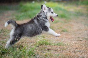 Siberian Husky Welpe spielt draussen im Gras