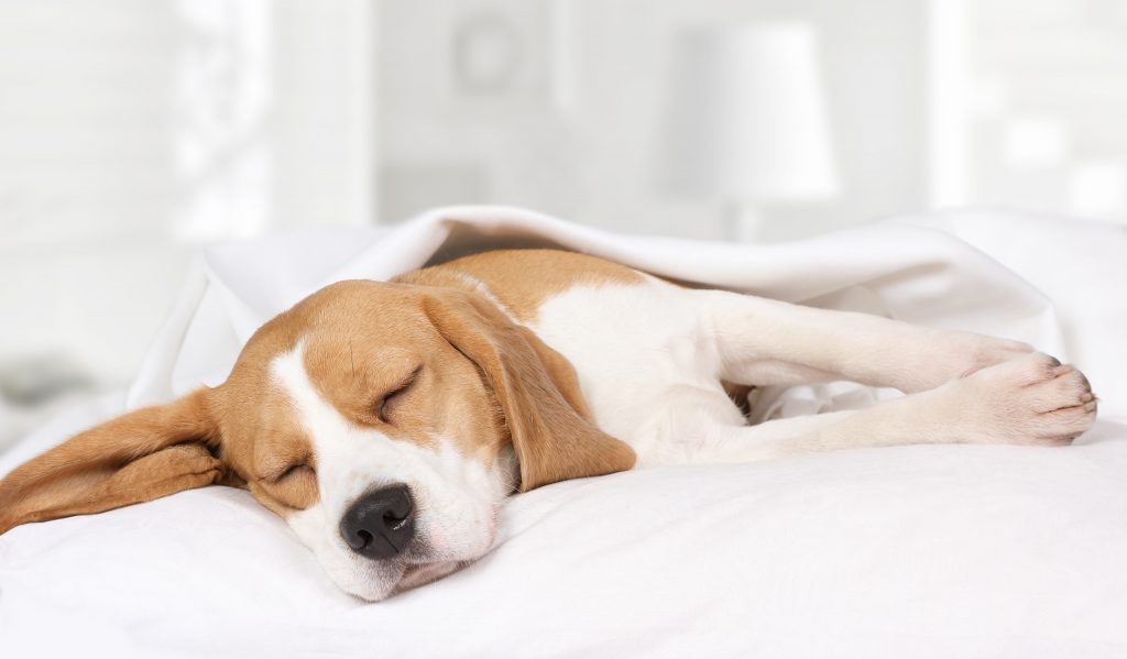 Beagle schläft auf dem Sofa