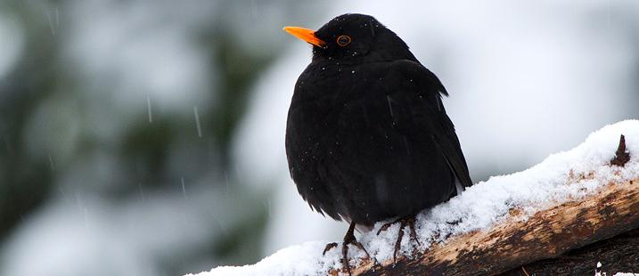 Eine Amsel sitzt bei Schnee auf einem Ast