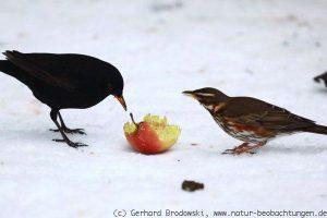 Amseln fressen einen Apfel im Schnee
