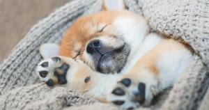 Akita Inu Welpe schläft