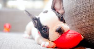 Französische Bulldogge Welpe spielt mit auf dem Sofa mit einem roten Ball