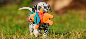 Dalmatiner Welpe draussen im Gras mit einem Spielzeug am Spielen